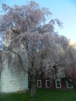 Weeping Cherry by Lusscroft Barn