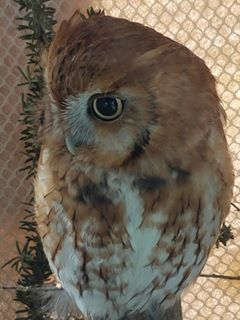 Avian Wildlife Center Owl 2017 Heather Gallia